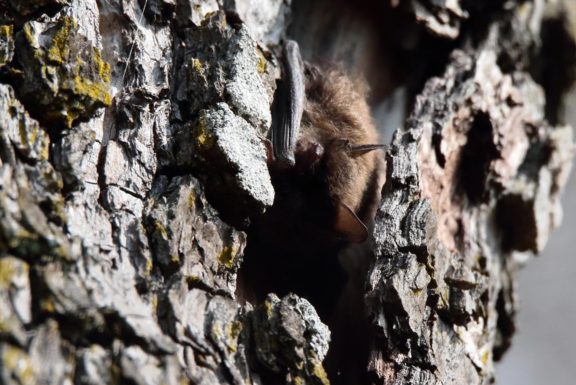 Chauve-souris ©Olivier Préel