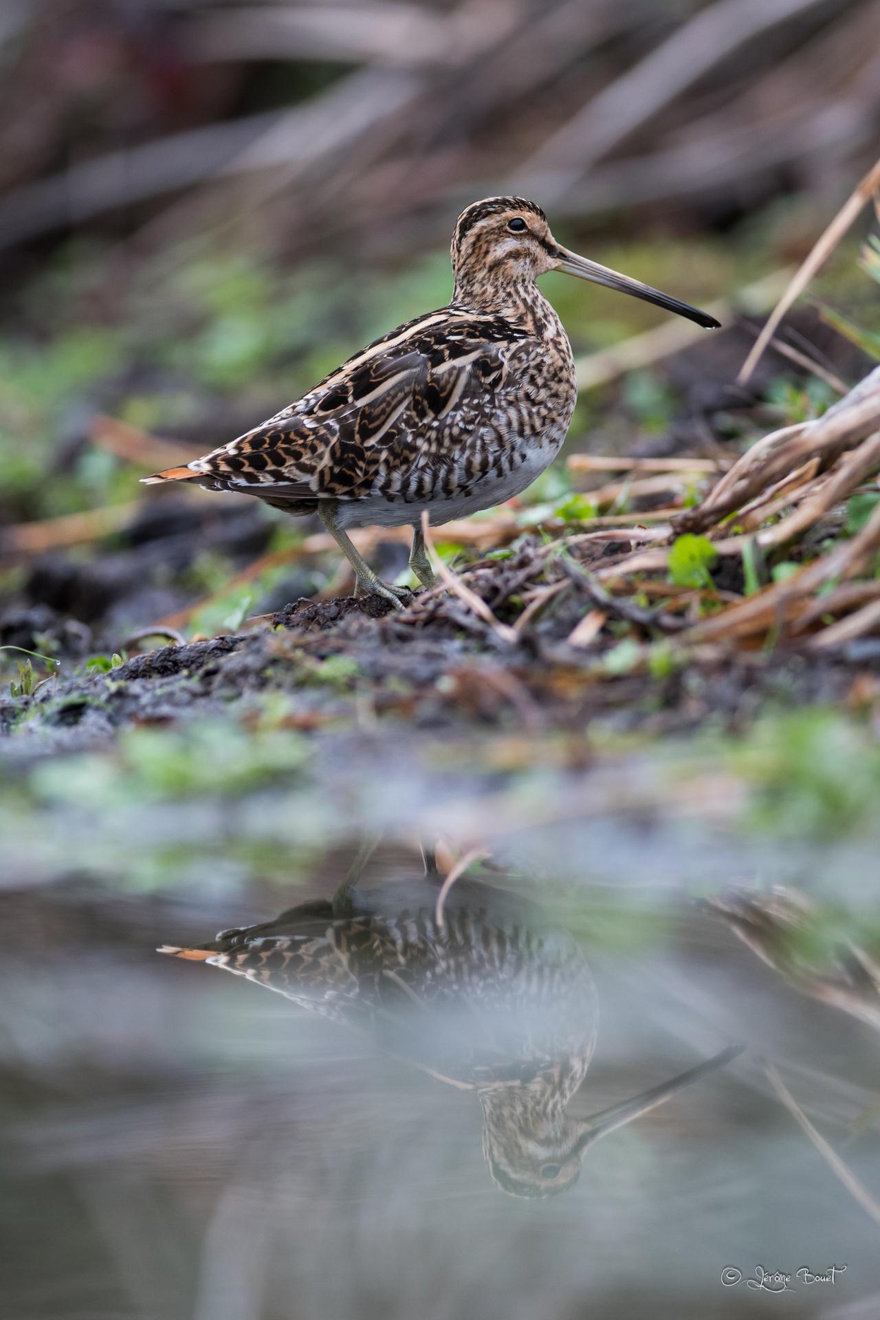 Bécassine des marais ©Jérome Bouet