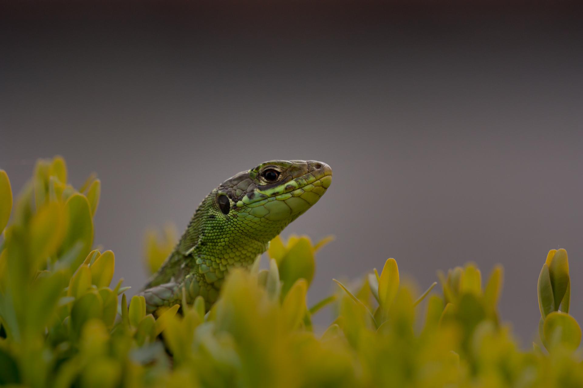 Lézard vert ©Pascal Jahan