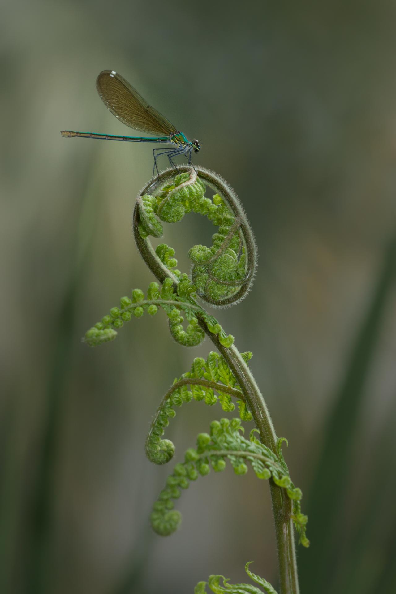Caloptérix éclatant ©Pascal Jahan