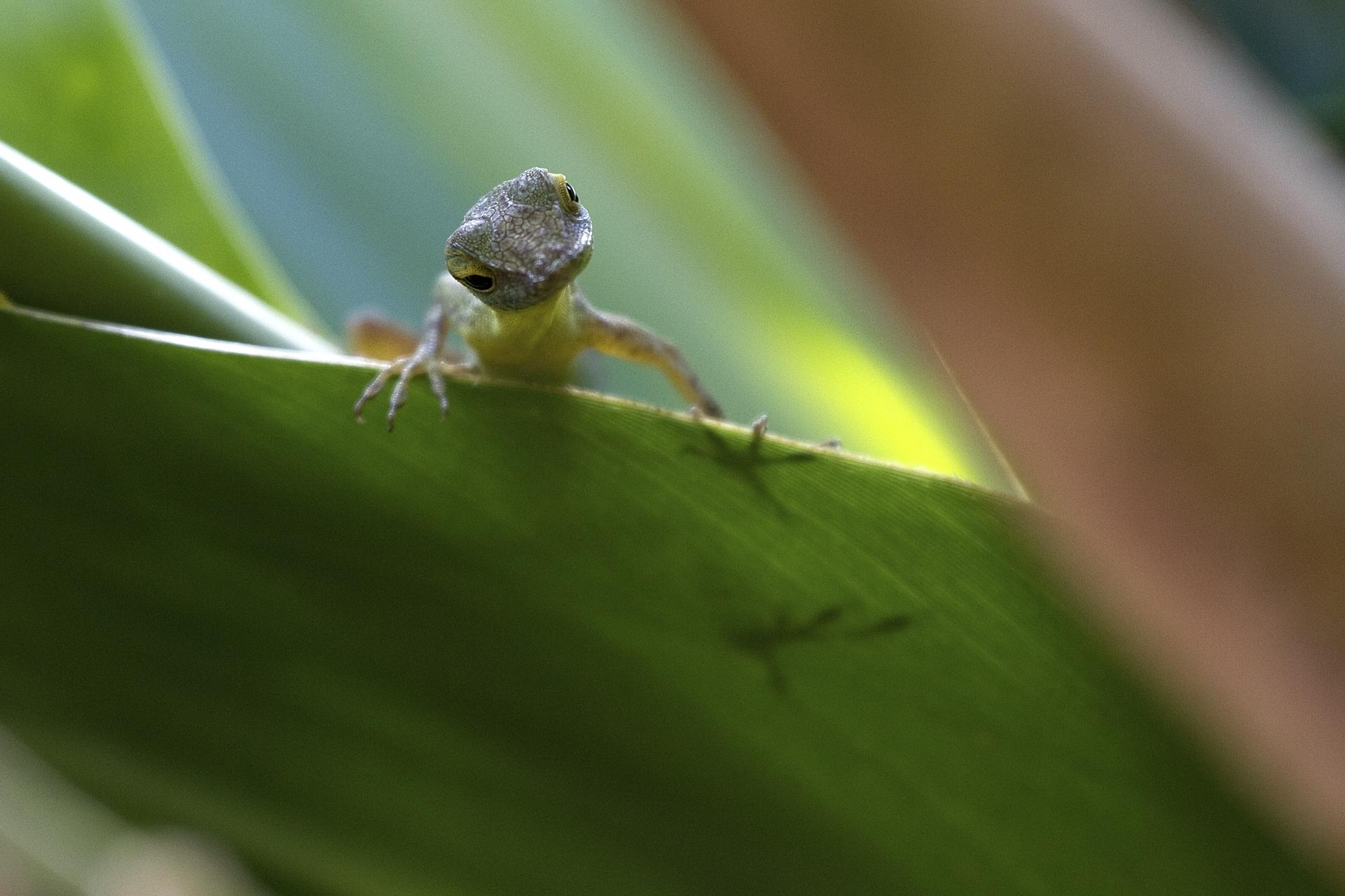 Anoli (Guadeloupe)©Thierry Lecouple