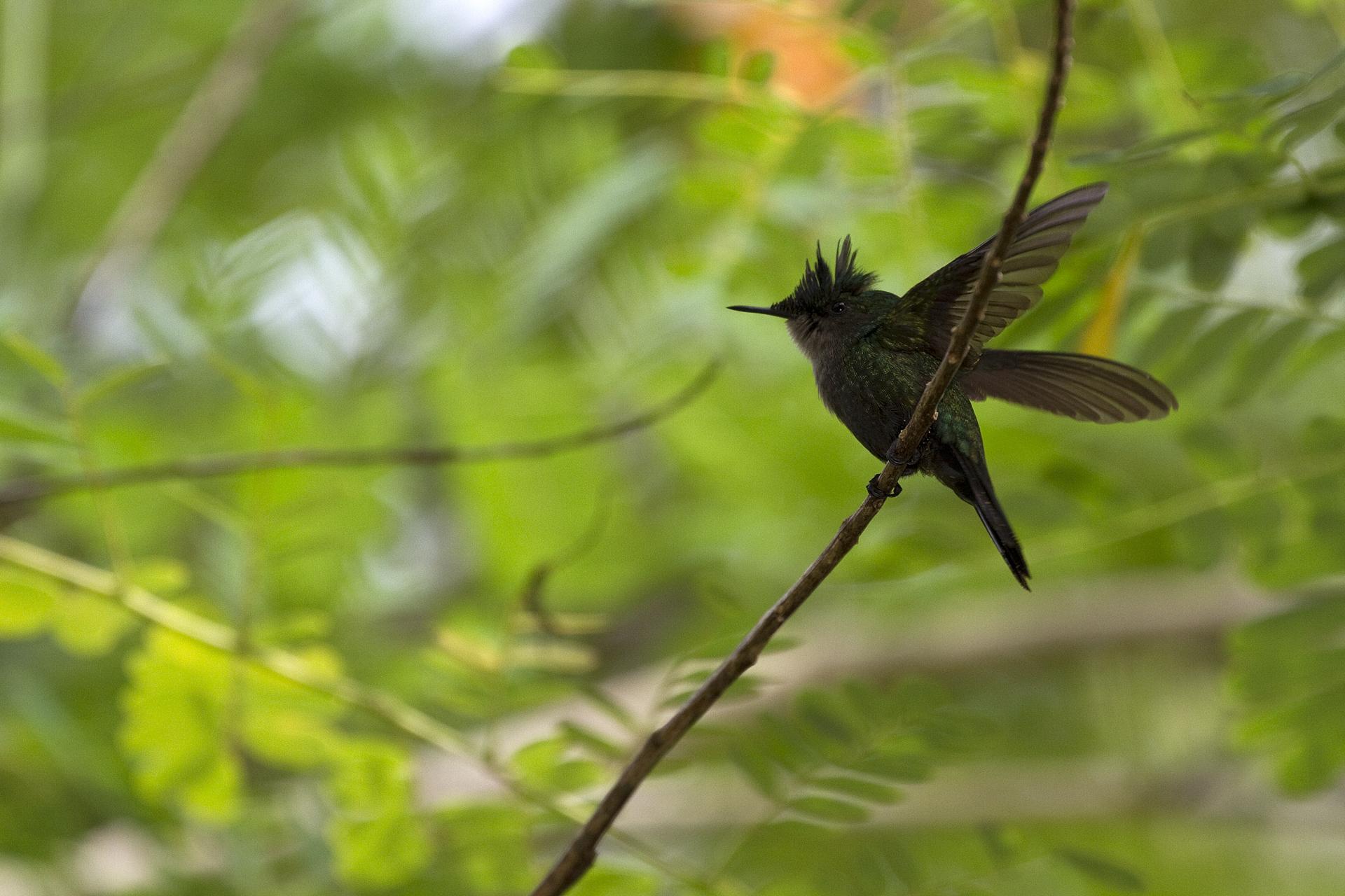 Colibri huppé (Guadeloupe)©Thierry Lecouple