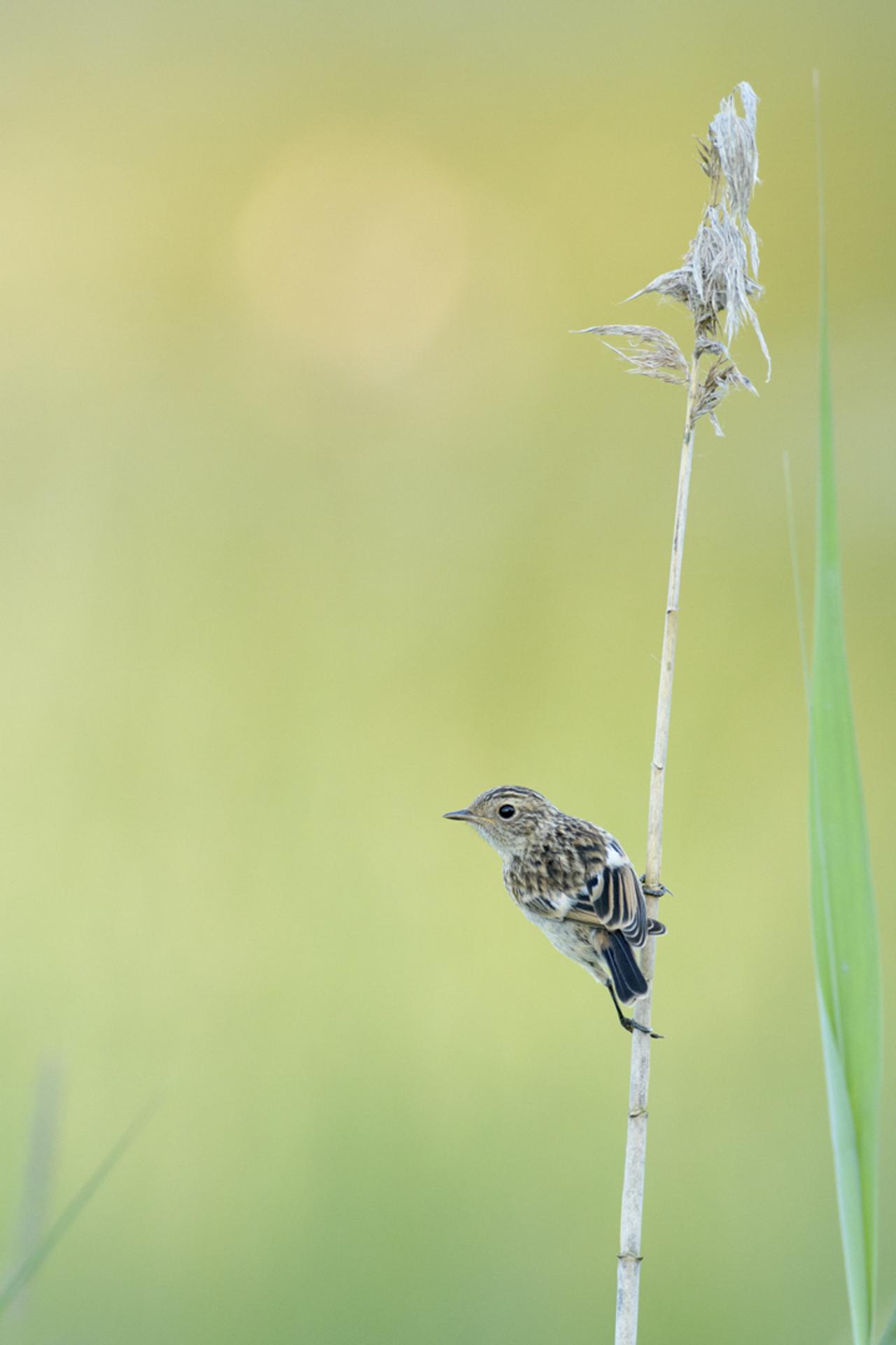 Jeune Tarier-pâtre ©Patrick Mauchien