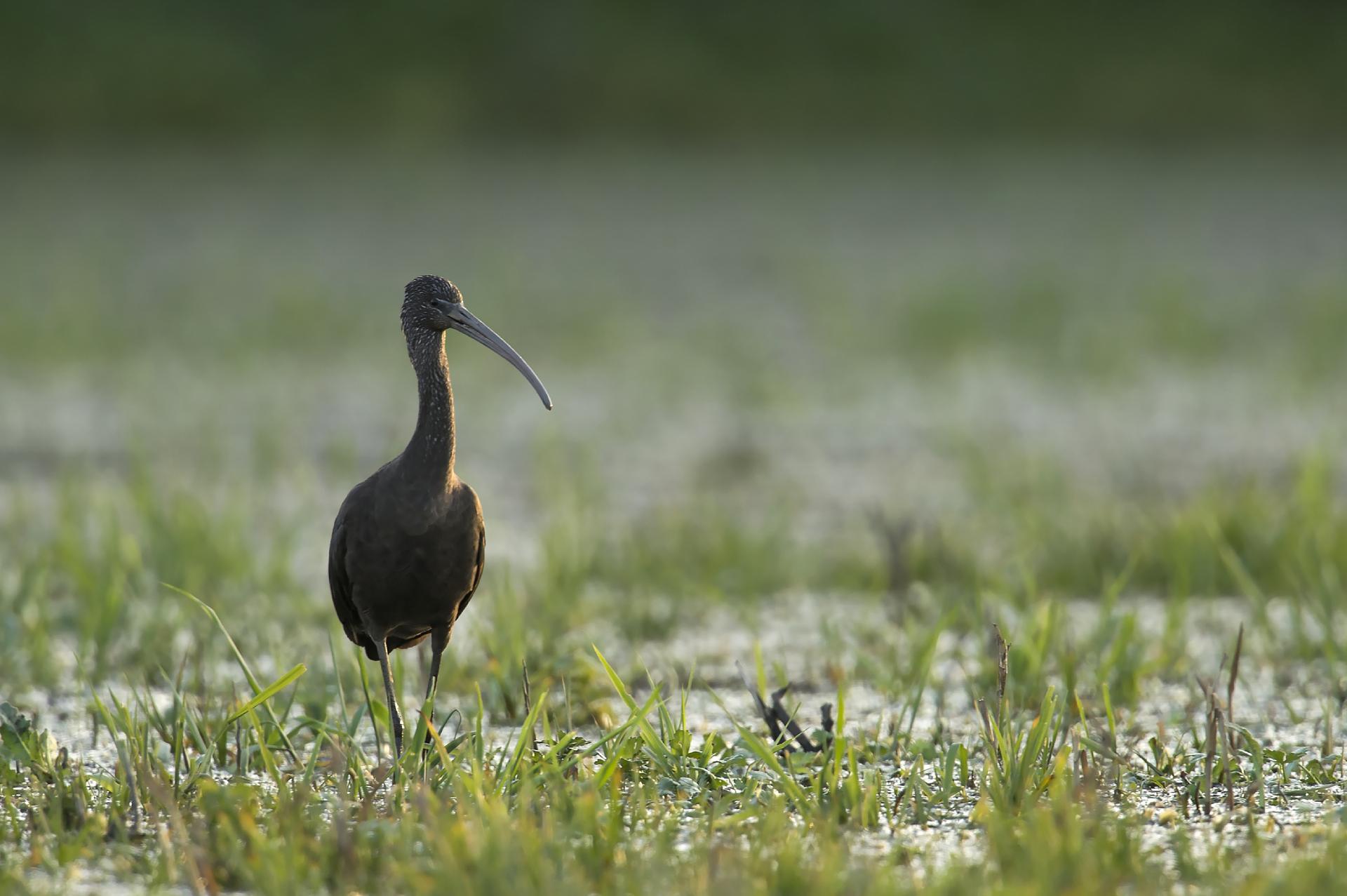 Ibis falcinelle © Thierry Lebert
