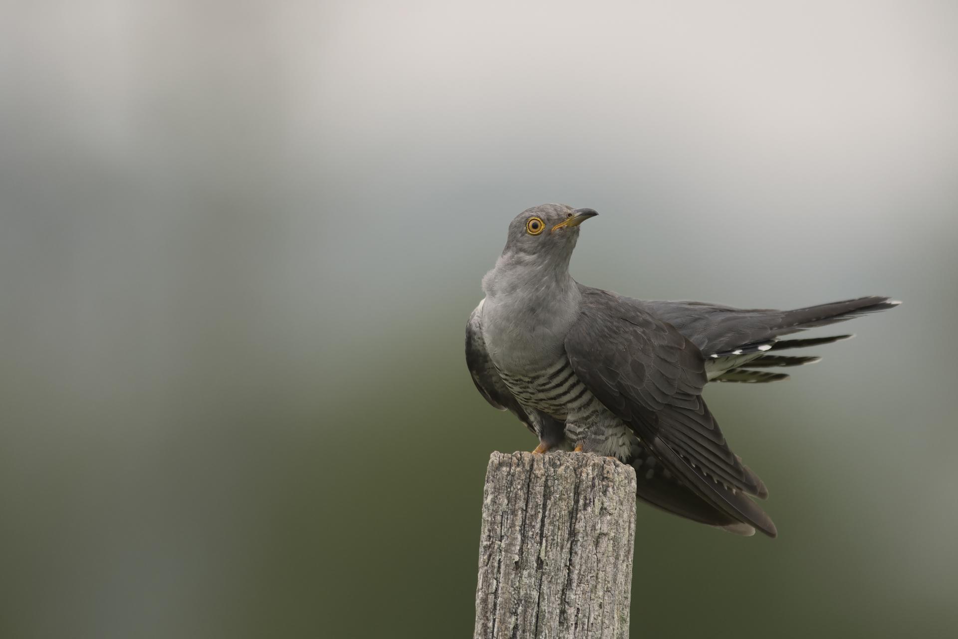 Coucou gris ©Nelly Sauvaître