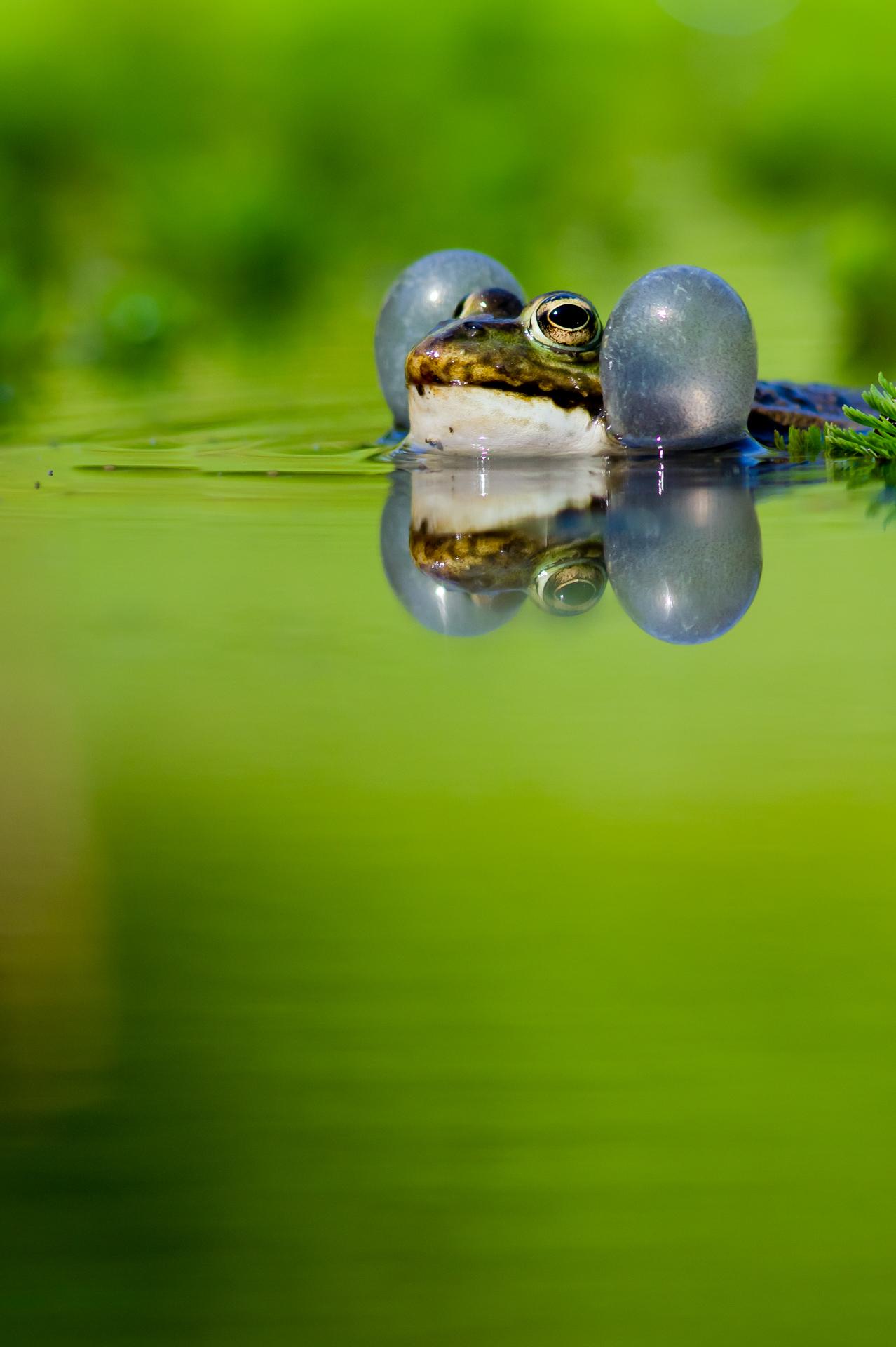 Grenouille verte ©Pascal Jahan