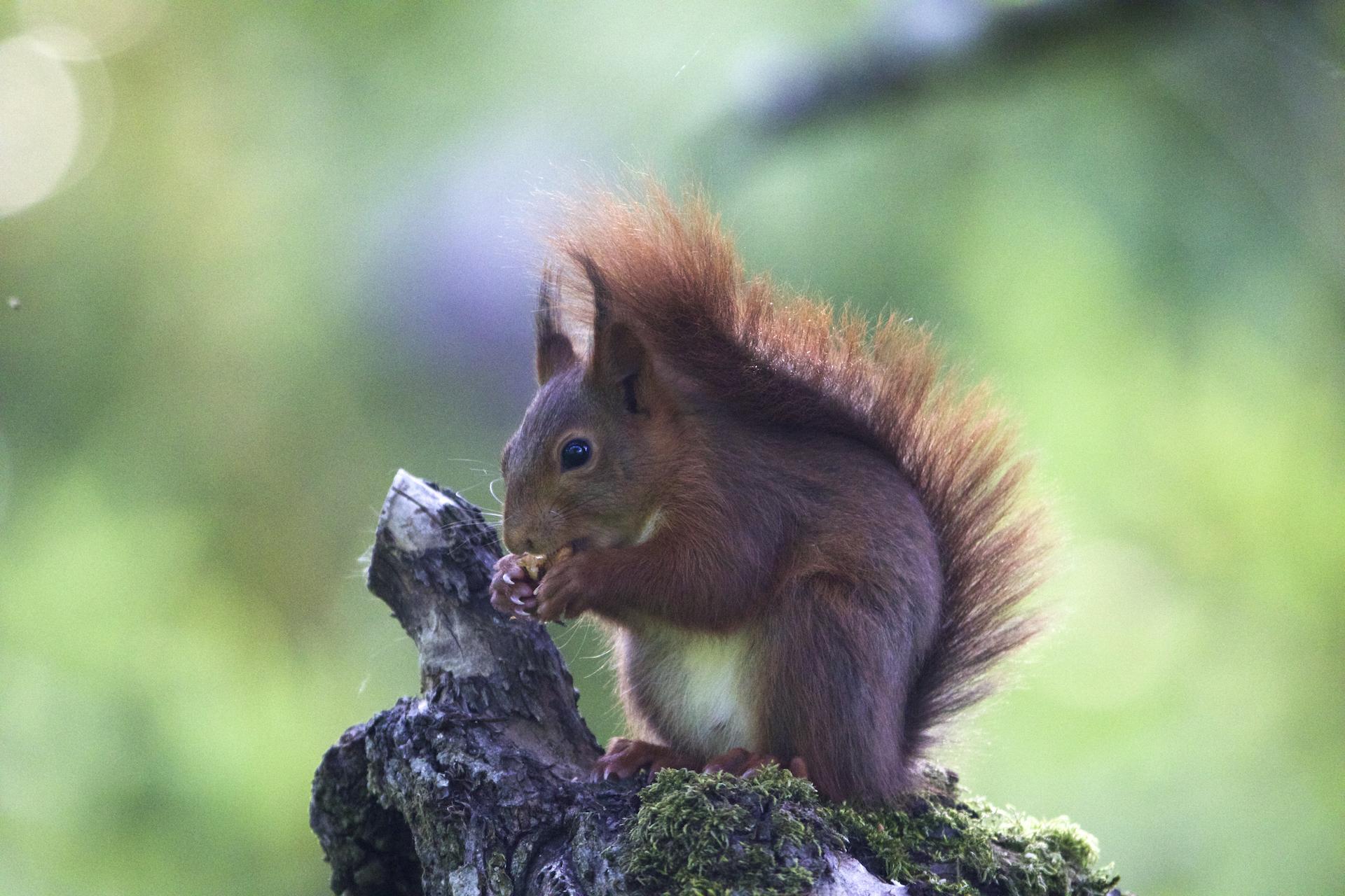 Ecureuil roux ©Philippe Chenet