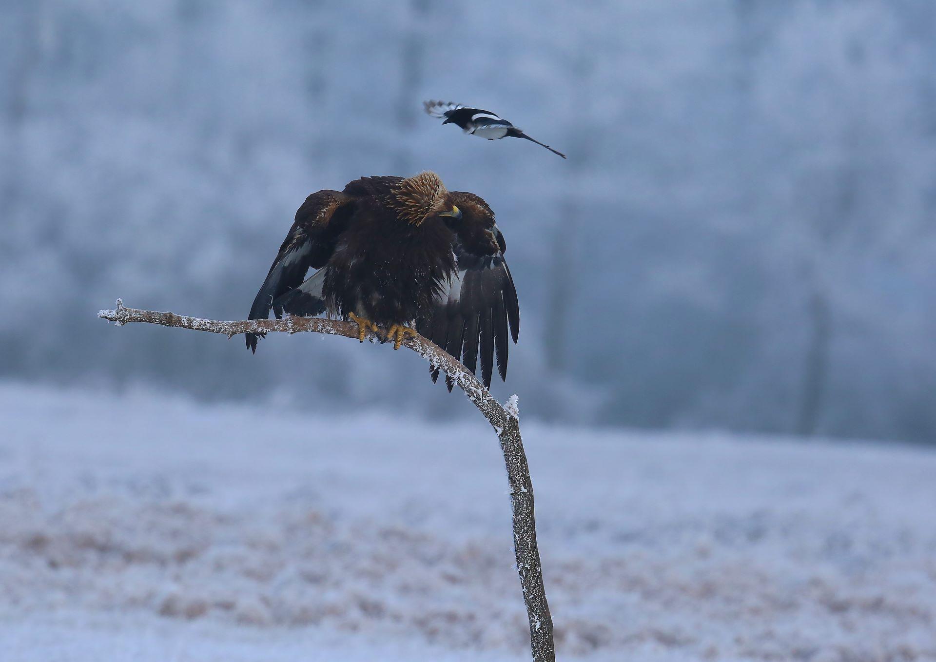 Aigle royal et pie bavarde  ©Guy Janvrot