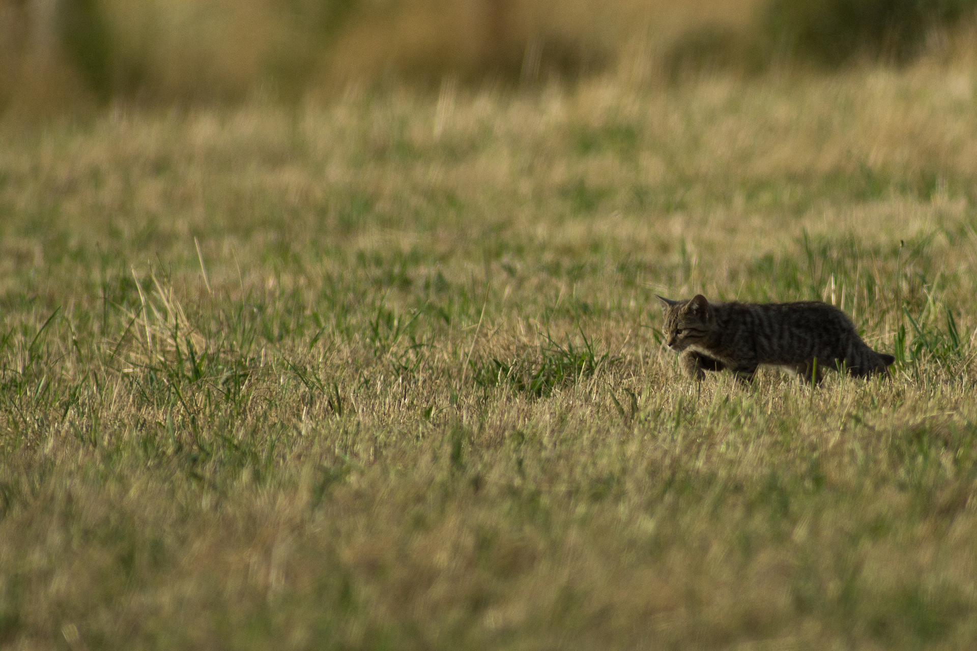 Chat sauvage ©Alexandre Roubalay