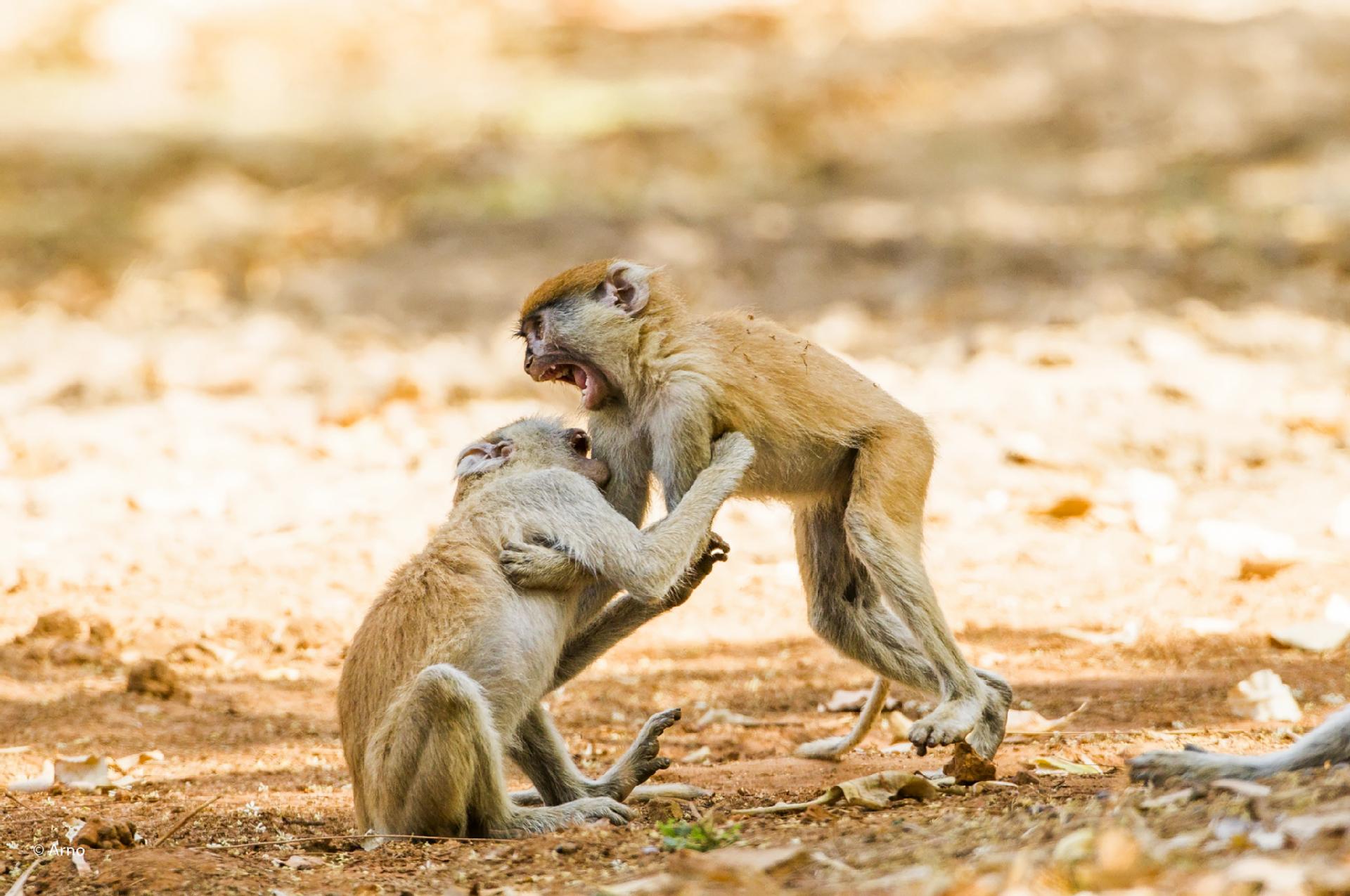 Jeunes singes patas  ©Arnault Vatinel