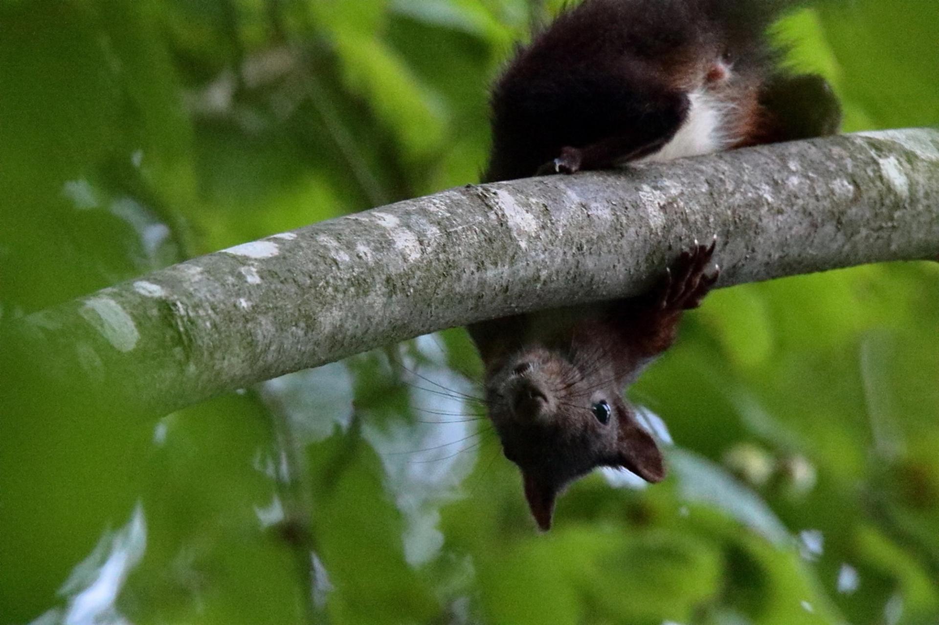 Ecureuil roux ©Olivier Préel