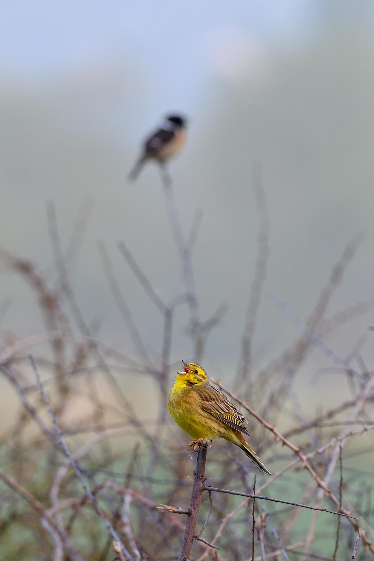 Bruant jaune mâle ©Sébastien Conin