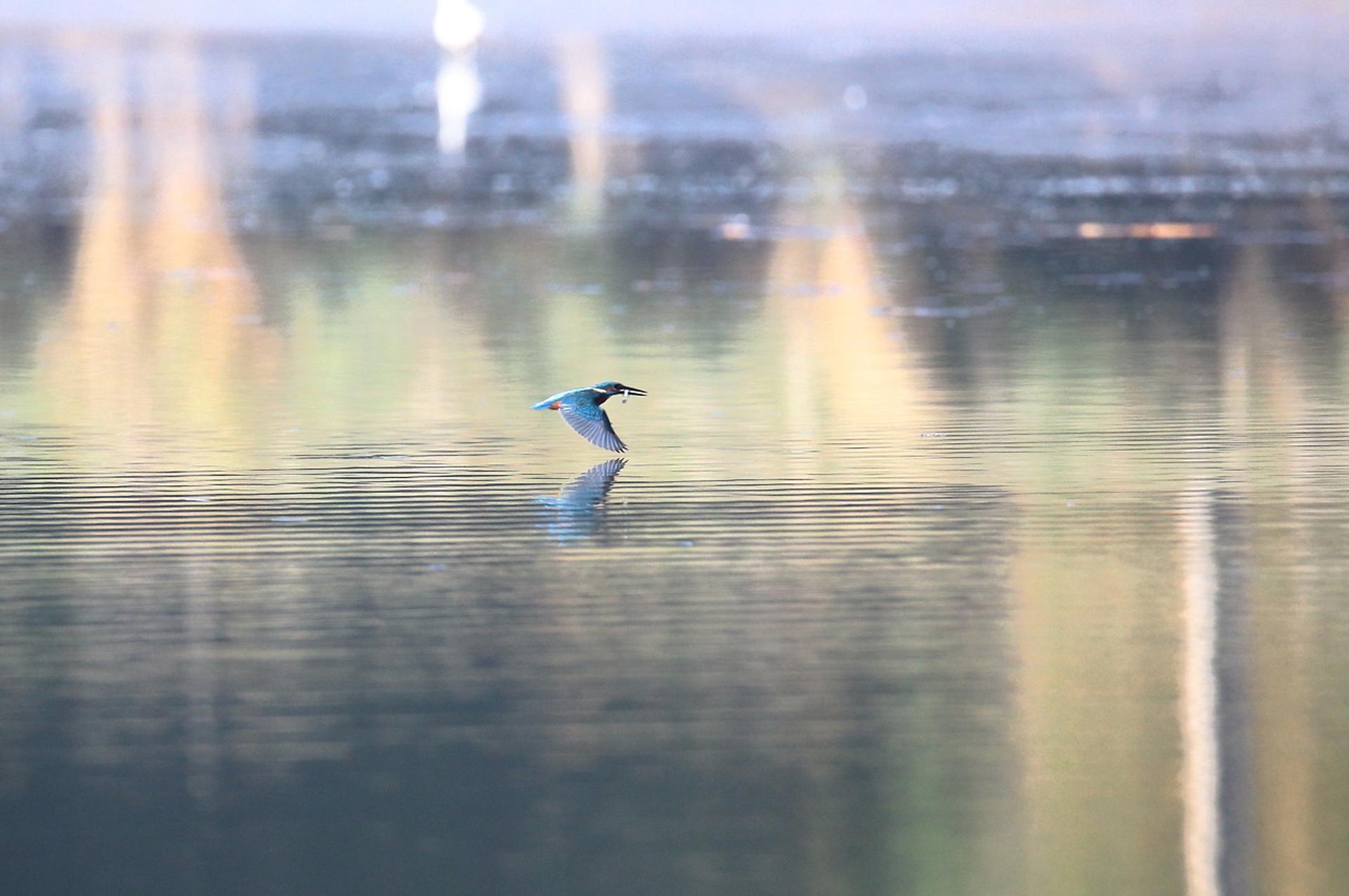 Martin pêcheur d'Europe ©Olivier Préel