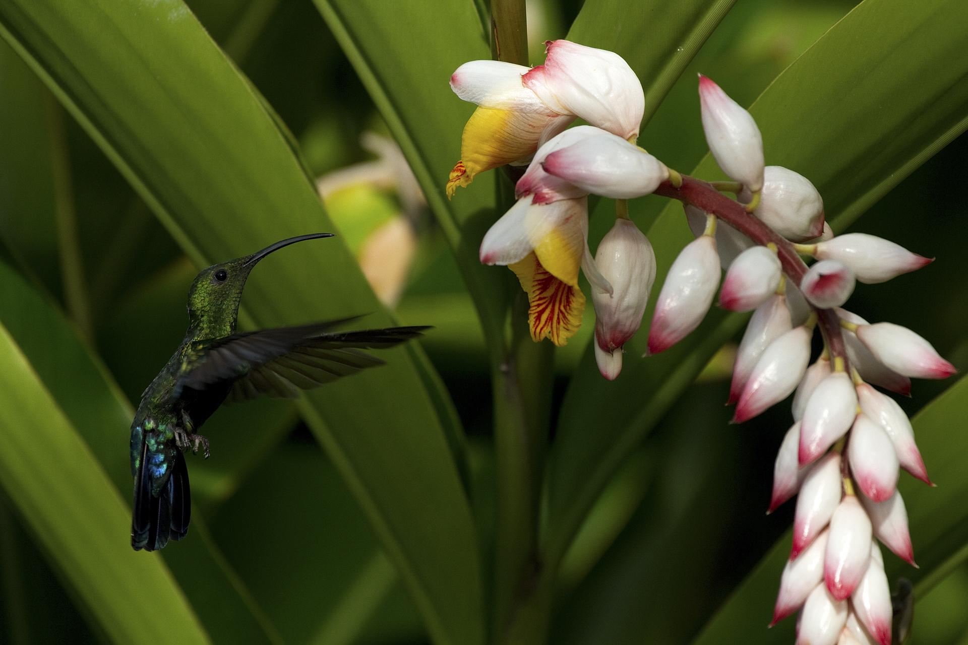 Colibri falle vert (Guadeloupe)©Thierry Lecouple