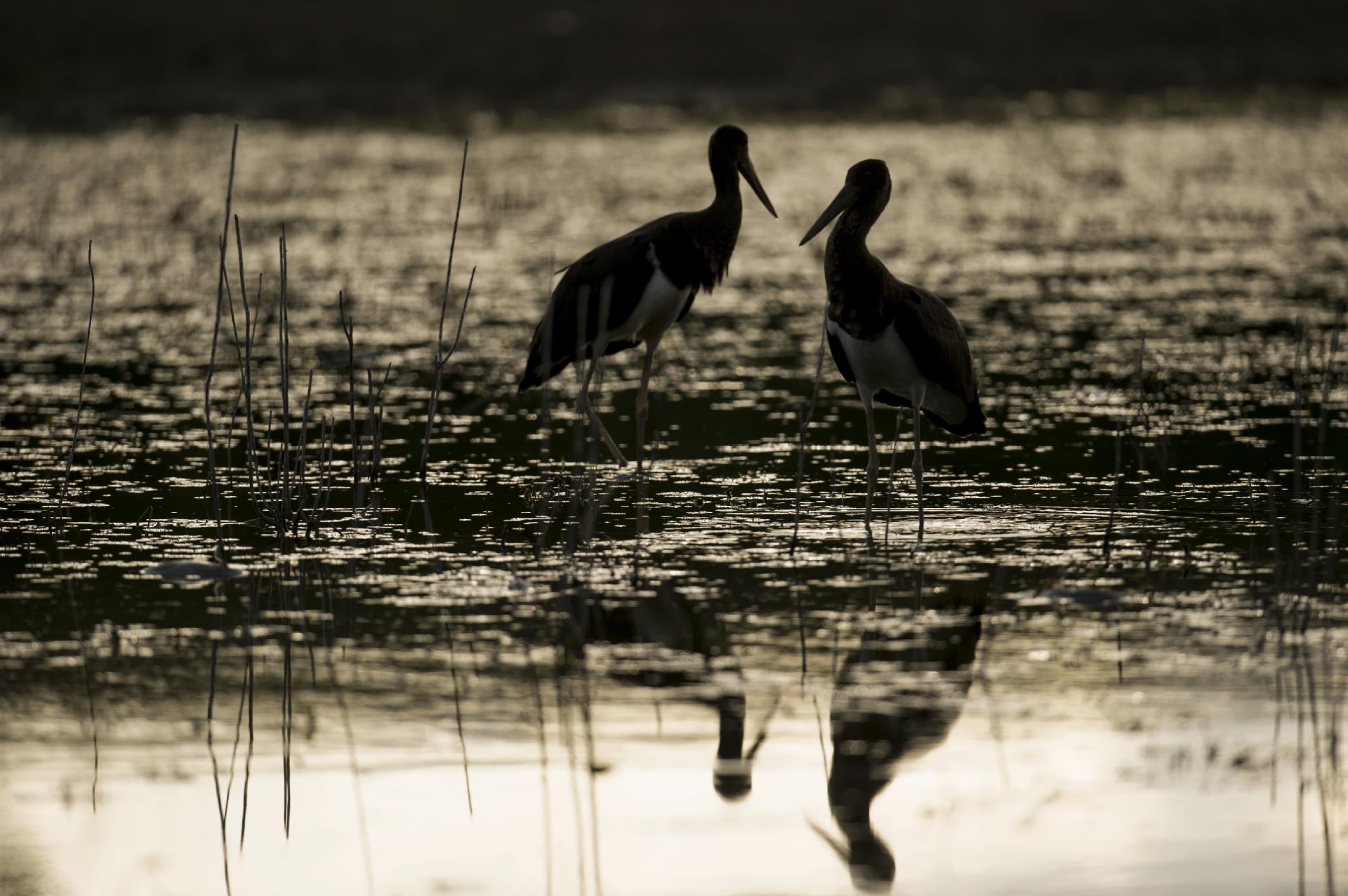 Cigognes noires © Thierry Lebert