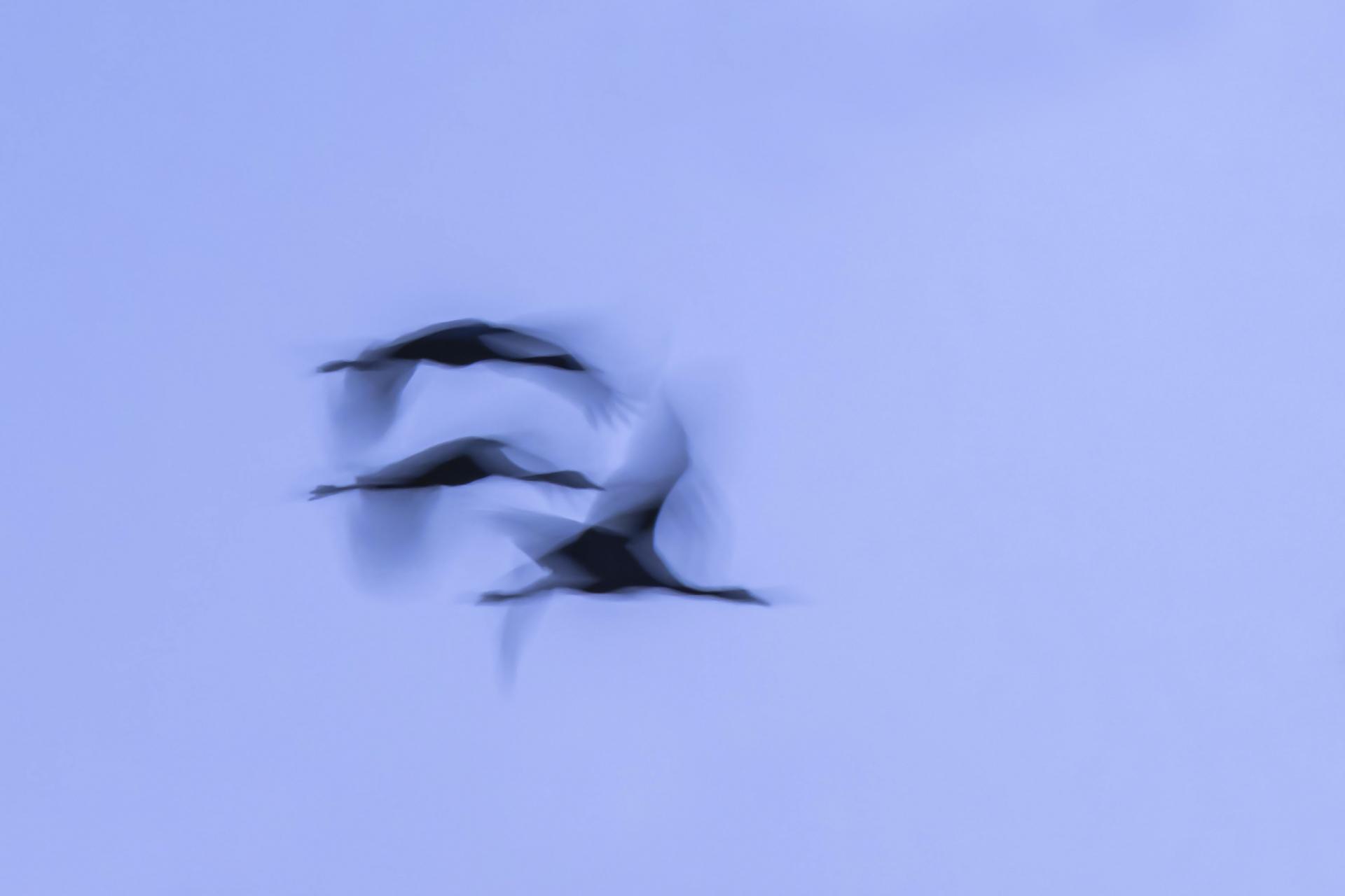 Grues cendrées ©Gérard Fauvet