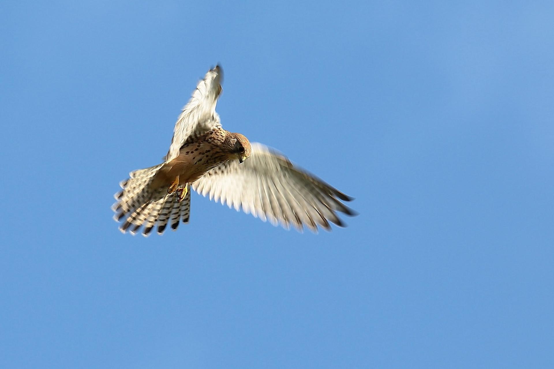 Faucon crécerelle ©Olivier Préel