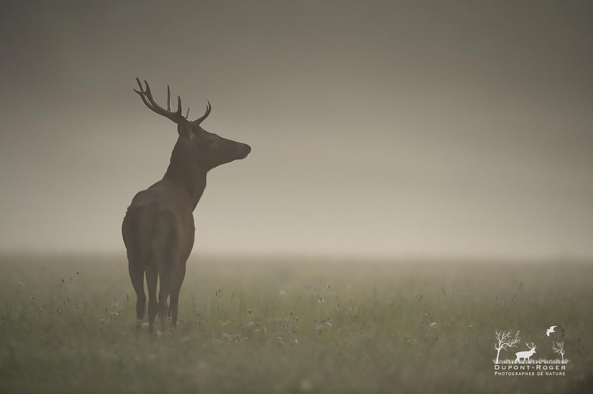 Cerfs ©Dupont-Roger