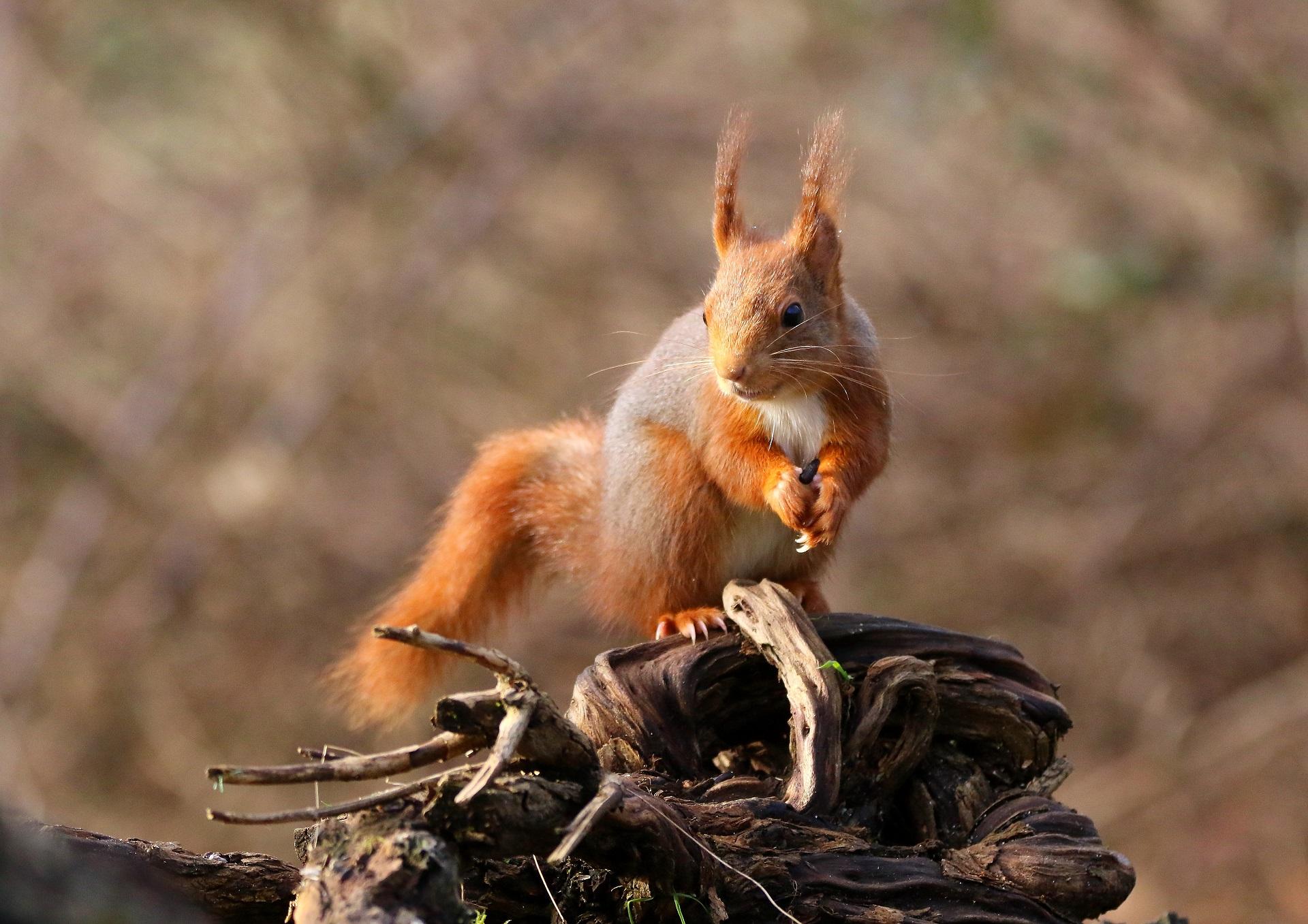 Ecureuil roux ©Guy Janvrot