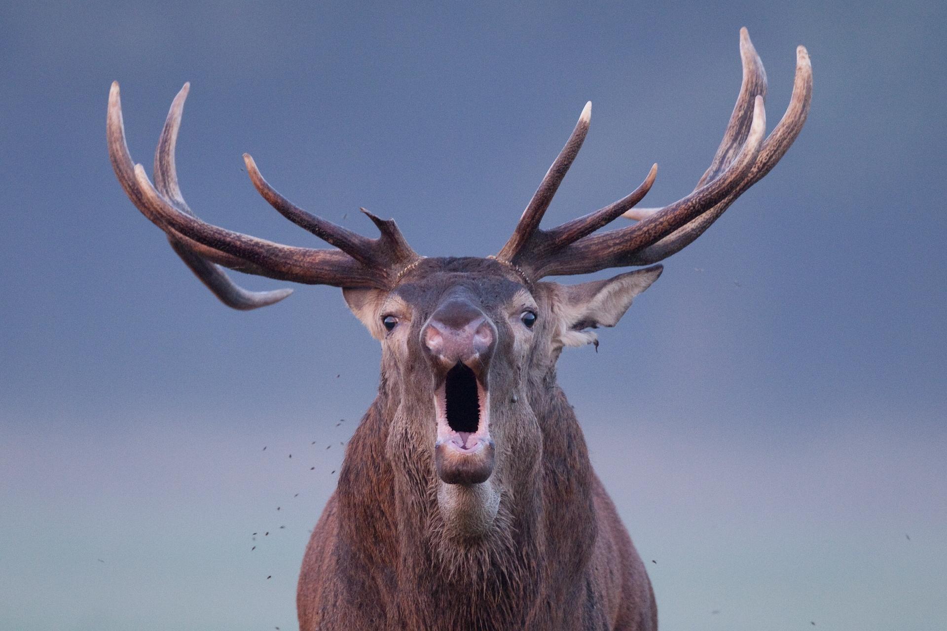 Cerf élaphe ©Laurent Bossay