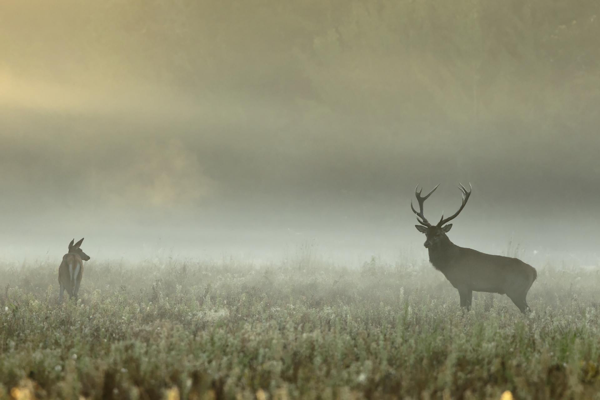 Cerf et biche ©Tanguy Valois