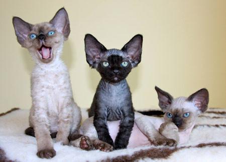 """January 2016: 3 kittens from """"La Douceur de Vivre"""" cattery / Corinne Pinecki"""
