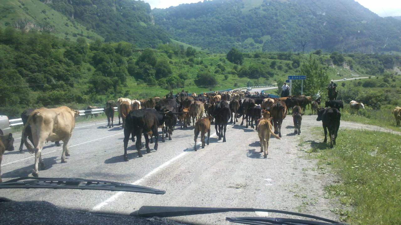 die Kühe haben zwar keine Vorfahrt, sind aber überall auf der Strasse