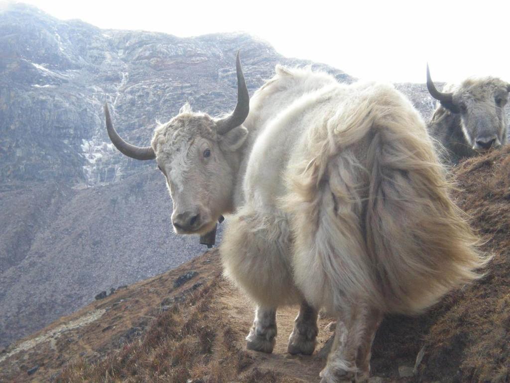 das einzige weiße Yak