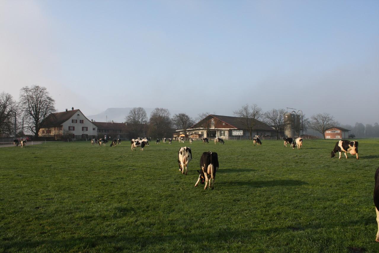 Neuhof mit Holsteinherde