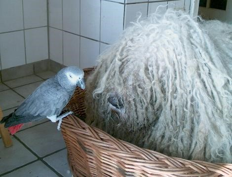 unvergessen Schmotti (Szatmar) mit dem Graupapagei Coco