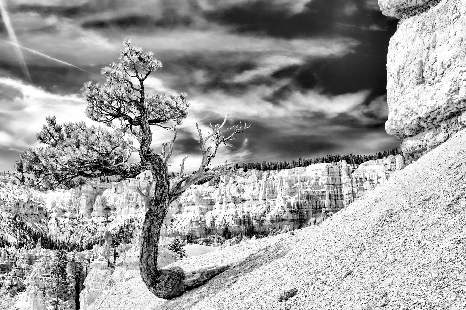 Bryce Tree - Utah