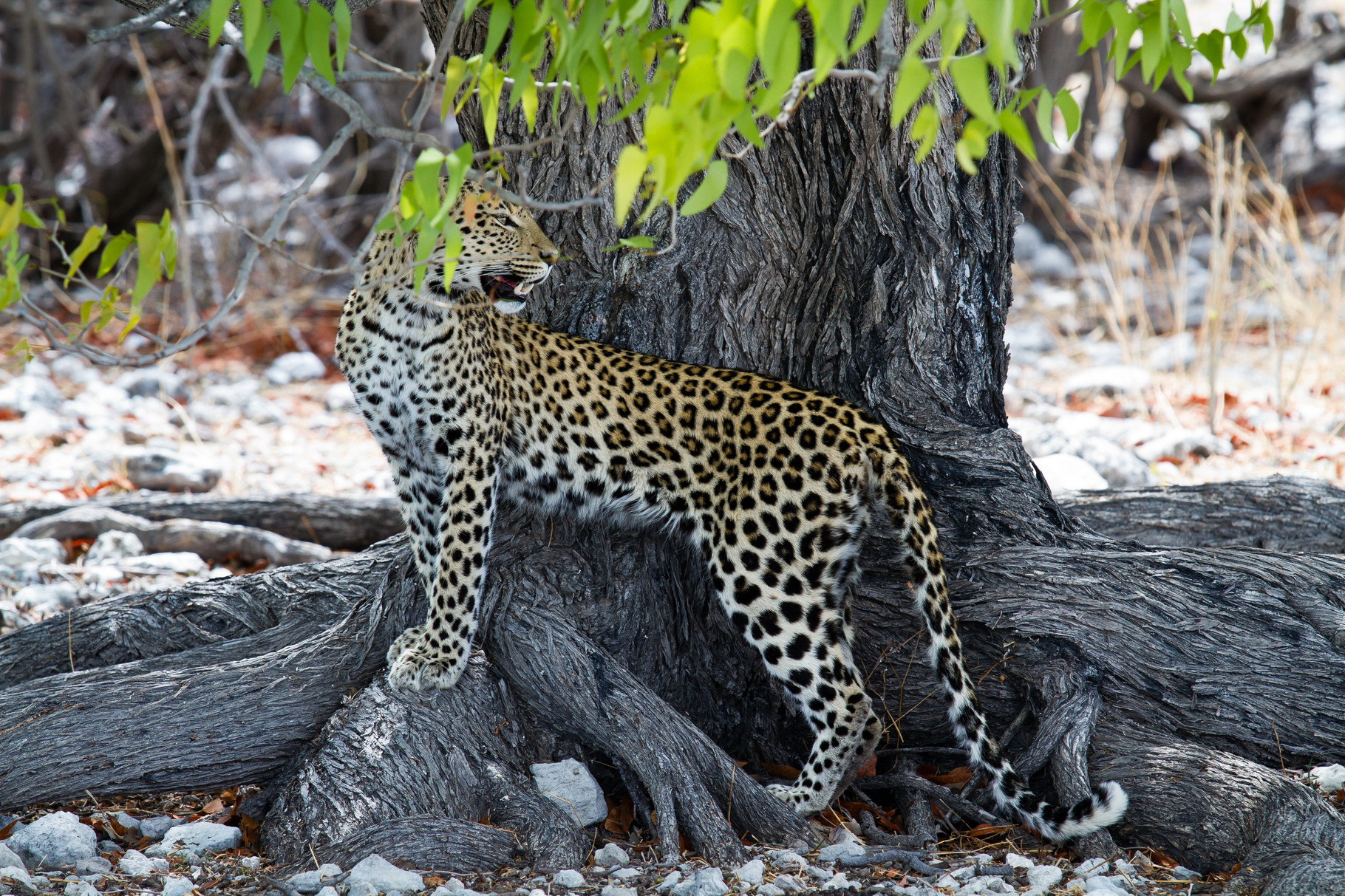 Leopard - Namibia