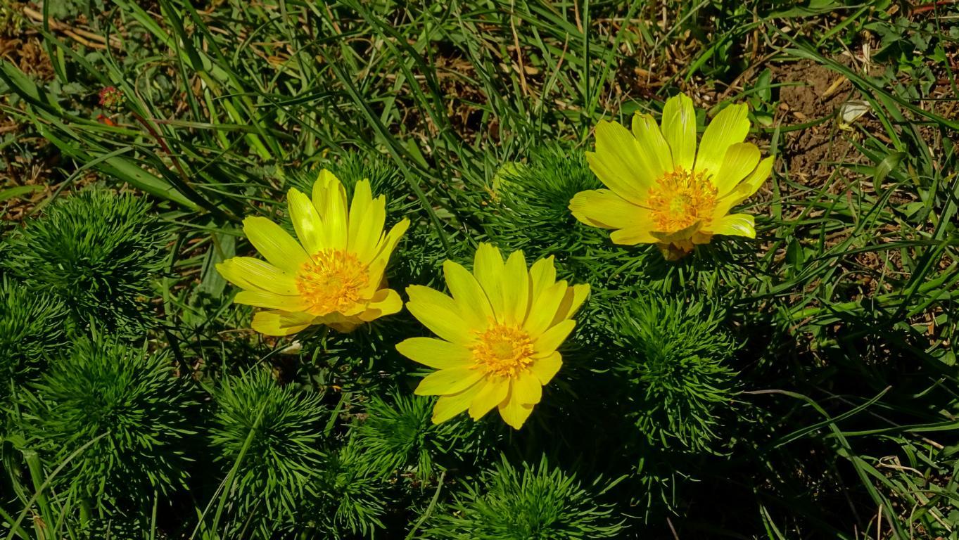 Frühlings-Adonisröschen . Foto: ÖNSA/N.Feige