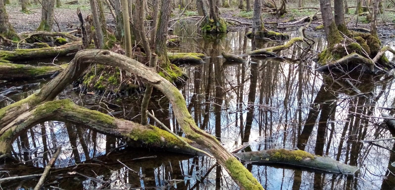 Sumpfige Stellen im Lappwald. Foto: ÖNSA/N.Feige