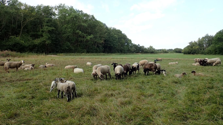 Schafe beweiden das feuchte Grünland entlang der Oker. Foto: ÖNSA/N.Feige