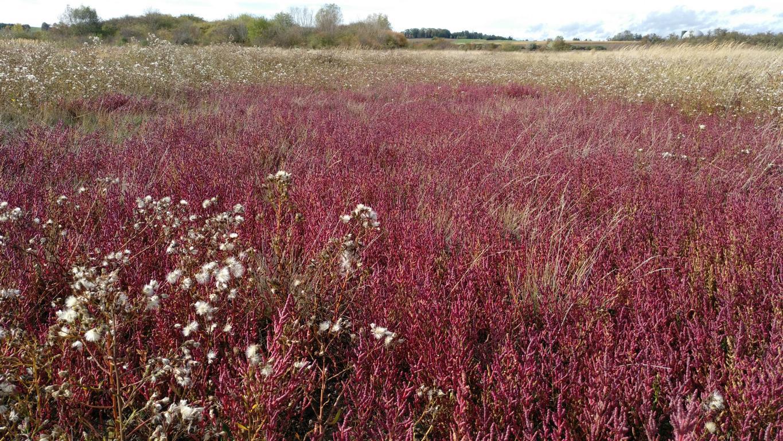 Die Salzwiese erstrahlt im Herbst leuchtend rot: Queller und ausgeblühte Stand-Aster. Foto: ÖNSA/N.Feige