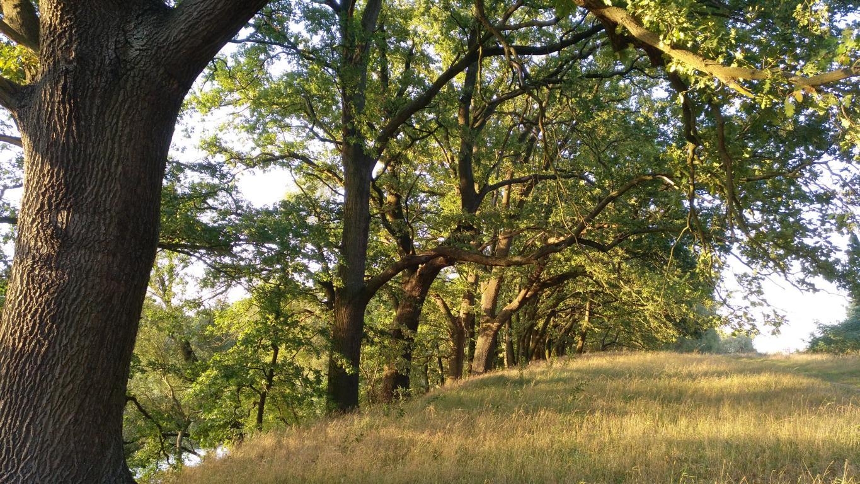 Alte Eichen am Okerufer. Foto: ÖNSA/N. Feige