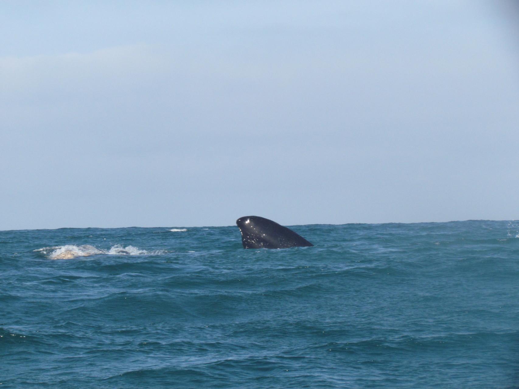Wale in der Bucht von Pearly Beach