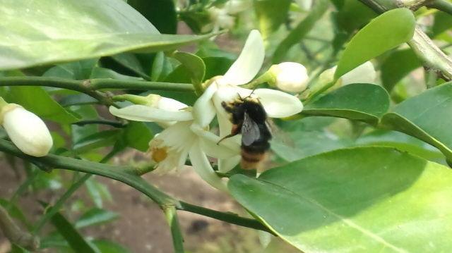 花が咲き、蜂などの昆虫により受粉し 実を着けます