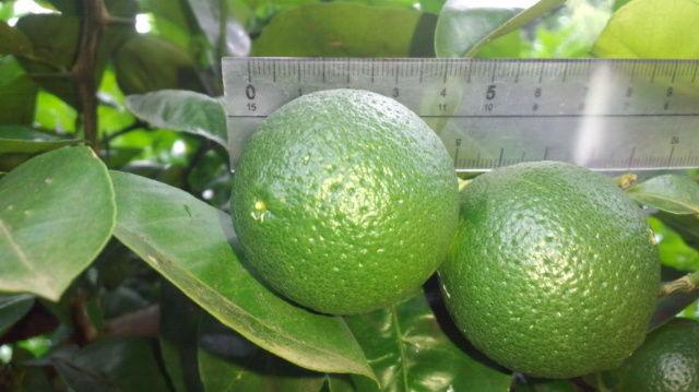 有機栽培かぼす(オーガニックカボス)が 一段と大きくなりました 直径4㎝ ピンポン球位かなこれからもっともっと大きくなります