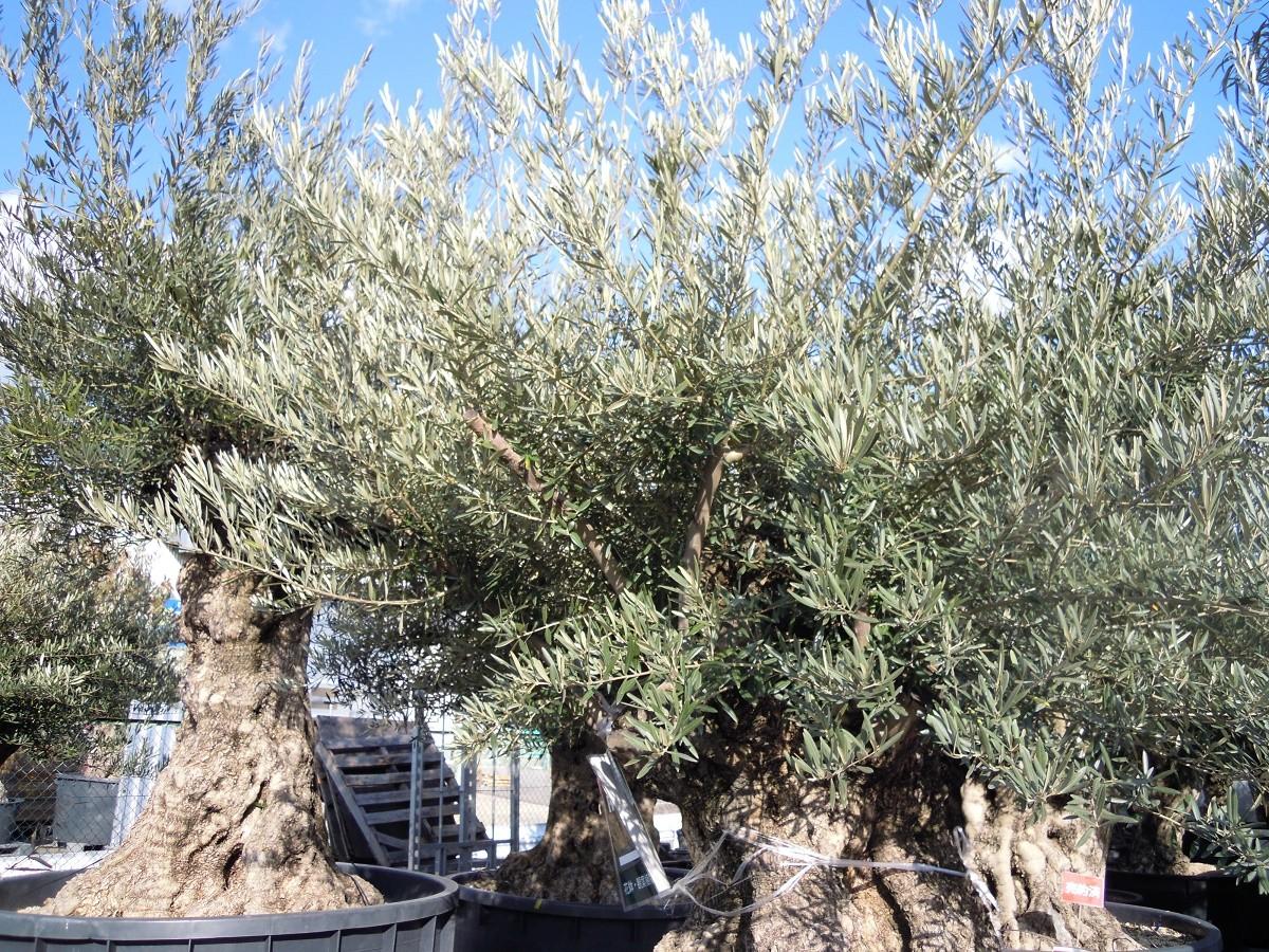 樹齢1年が1万円と言われるオリーブの樹です