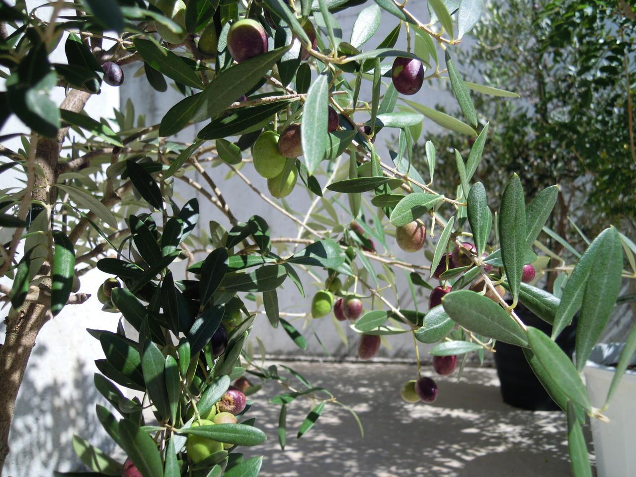 Oliveの実