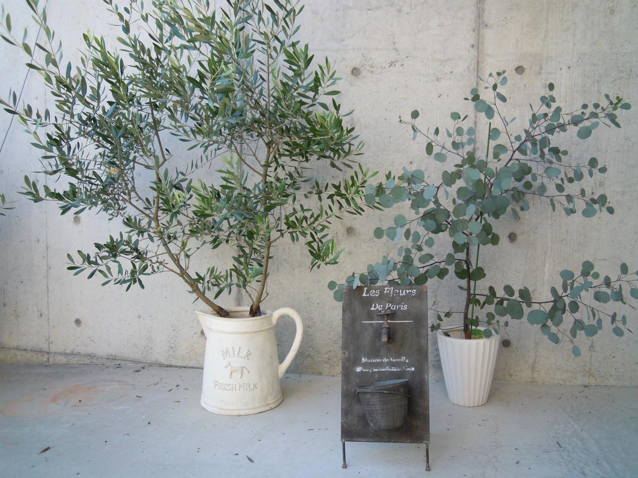シンボルツリー&ユーカリ・ポポラス