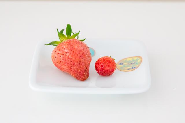 大粒いちごの収穫!!