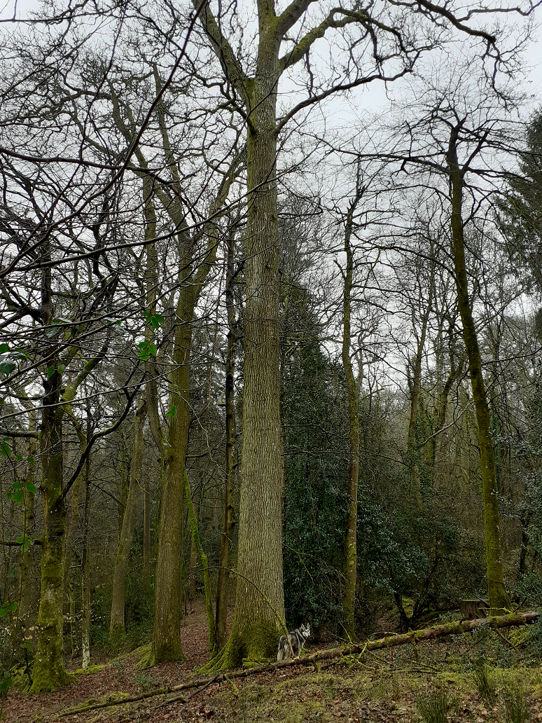 Oak silviculture quality traditional