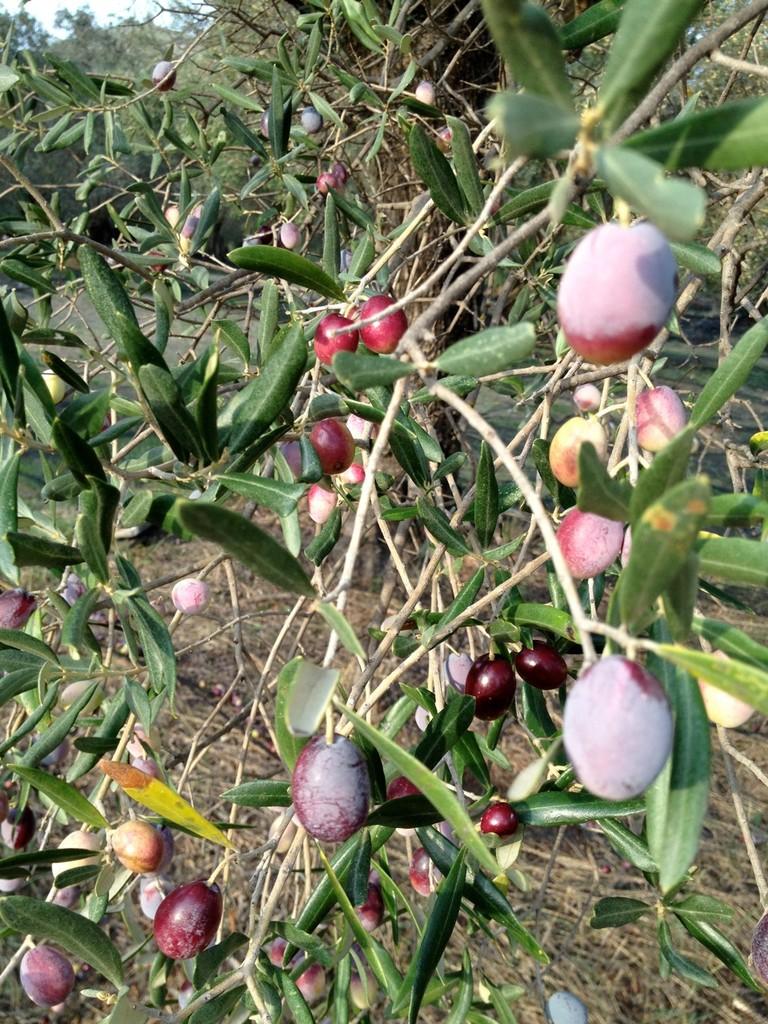 Kurz vor der Ernte - die Oliven reifen sehr individuell heran.