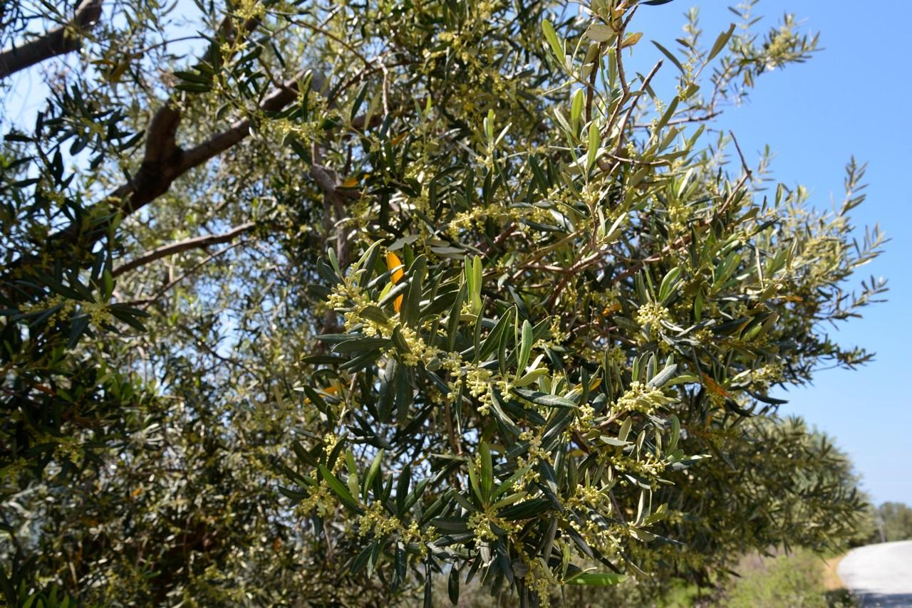 Der gesamte Olivenhain blüht.