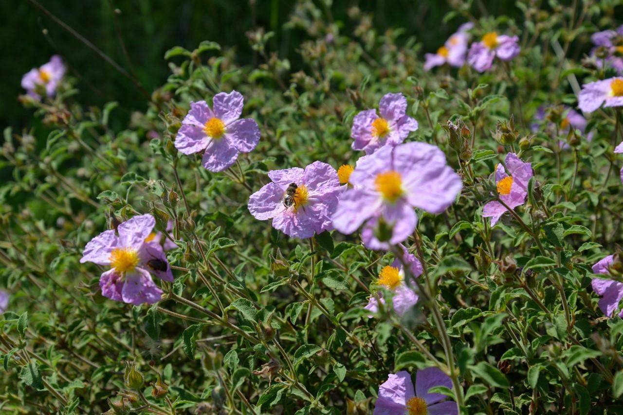 Die Zistrosen stehen in voller Blüte. Ihr ätherisches Öl ist ein natürliches Heilmittel.