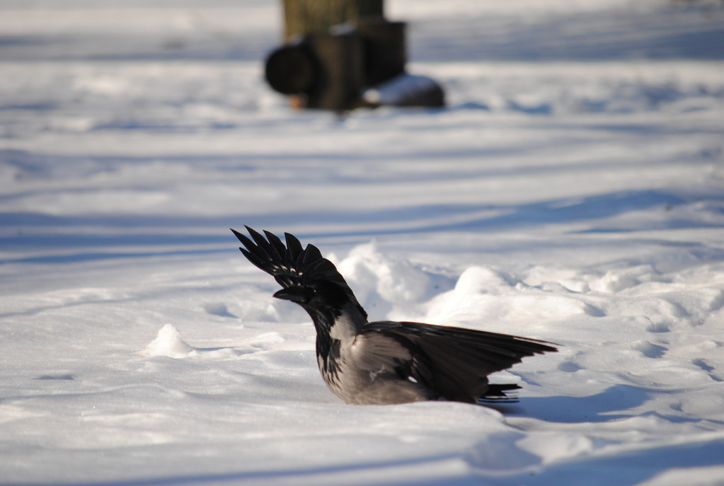 приземление вороны