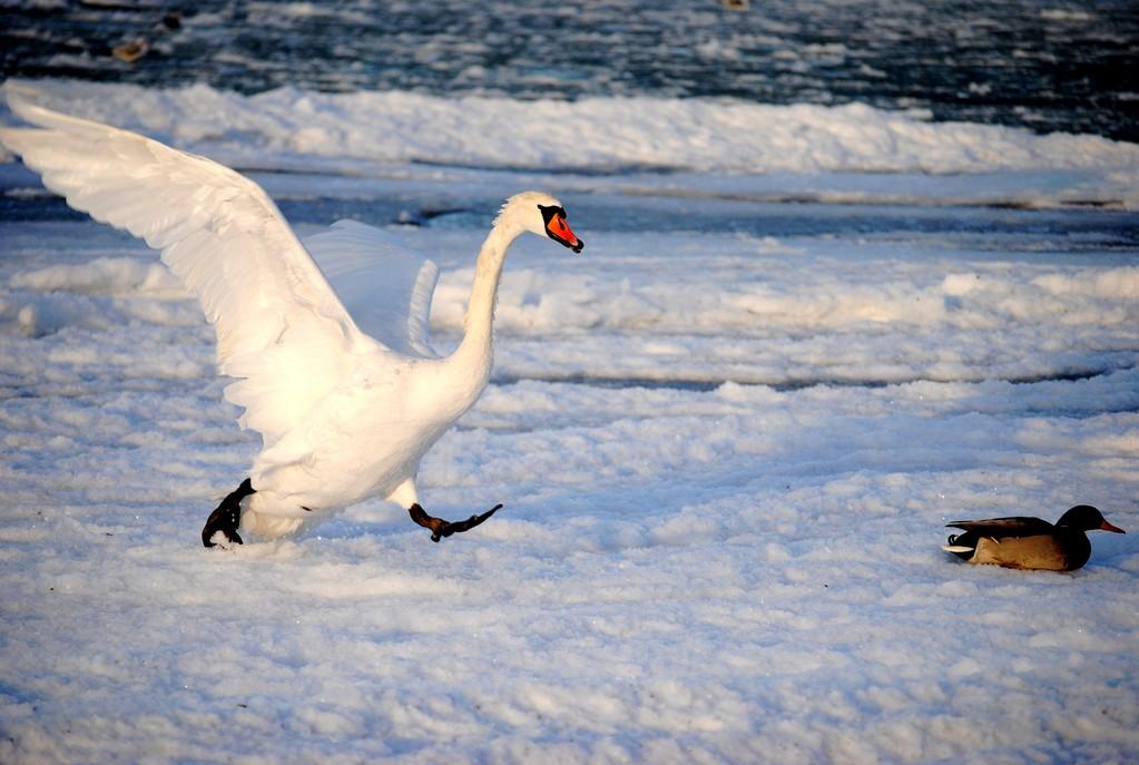лебедь бежит на кормёжку :)